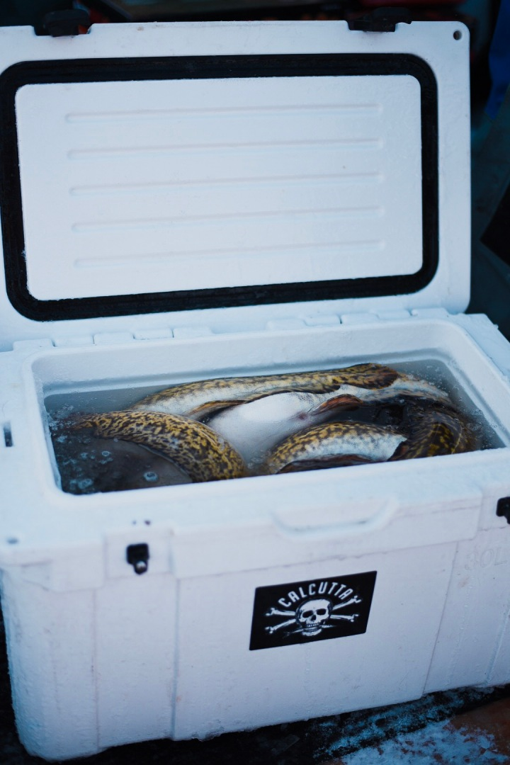 Cooler full of eelpout