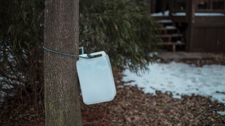 maple sap collecting