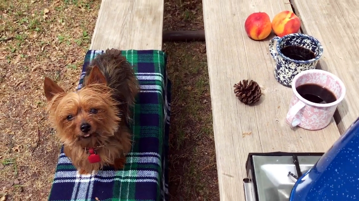 Camping with yorkie dog